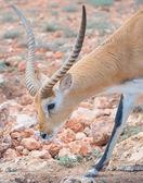 Addax walking in national park. Addax nasomaculatus. — Stock Photo