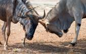 Blue wildebeest fighting in national park. Connochaetes taurinus. — Stock Photo