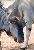 Blue wildebeest in national park. Connochaetes taurinus. — Stock Photo