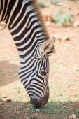 Mountain zebra eaiting grass in national park. — Stock Photo