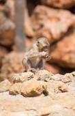 Little monkey eating in national park. — Stock Photo