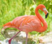Pink flamingo walking in national park. Phoenicopterus ruber — Stock Photo