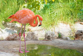 Pink flamingo near the pond in national park. Phoenicopterus ruber — Stock Photo