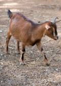 Brown goat walking in national park. — Stock Photo