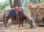 Pony eats hay in national park. — Stock Photo