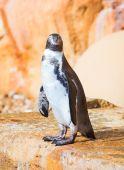 企鹅站在岩石上的肖像. — 图库照片