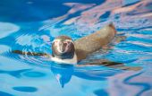 Little penguin swimming in blue water. — Stock Photo