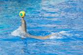Circus sea lion playing with ball in water pool. — Stockfoto