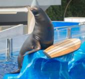 Circus sea lion performing in water pool. — Stockfoto