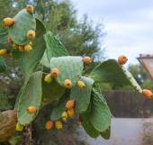 Prickly pears cactus fruits on the backyard. — Стоковое фото