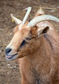 Goat walking on the small farm. — Stock Photo