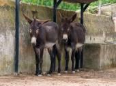 Two donkeys resting on the farm. — Stock fotografie