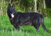 Portrait of black beautiful german shepherd outdoors. — Stock Photo
