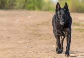 Black german shepherd outdoors. Space for text. — Stock Photo