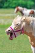 Portrait of Neighing horse with bridle. — Stock Photo