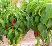 Red chilies being grown in Hatch, New Mexico — Stock Photo