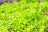 Green fresh lettuce growing on garden beds — Stock Photo