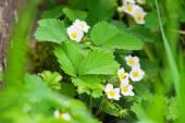 Strawberry blossoms — Stock Photo