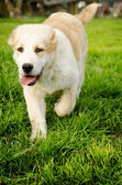 Central Asian Shepherd  Puppy — Stock Photo
