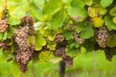 Pink wine grapes on vineyard — Stock Photo