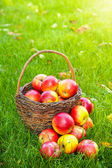 Basket with fresh apples in grass — Stock Photo