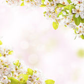 Spring blossoms on white background — Stock Photo
