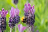 Bumblebee on lavender blossom in detail — Stock Photo