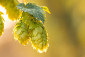 Macro photo of green hops — Stock Photo