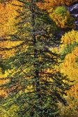 Fall Yellow Green Colors Mountain Sides Forest Evergreen Stevens — Стоковое фото