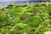Lotus Garden Reflection Summer Palace Beijing, China — Foto de Stock