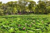 Lotus Garden Summer Palace Beijing, China — Stock Photo