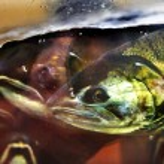 Постер, плакат: Fear Chinook Coho Salmon Close Up Issaquah Hatchery Washington S