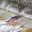 Постер, плакат: Chinook Coho Salmon Jumping Issaquah Hatchery Washington State
