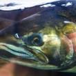 Постер, плакат: Chinook Coho Salmon Close Up Issaquah Hatchery Washington State