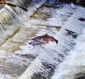 Chinook Coho Salmon Jumping Issaquah Hatchery Washington State — Stock Photo
