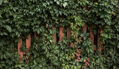 Leaves of grapes and wooden fence — Stock Photo