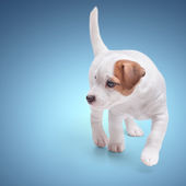 The puppy Jack Russell — 图库照片