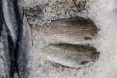 Fresh fish into ice — Stok fotoğraf