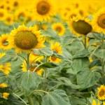 Sunflowers — Stock Photo #66060517