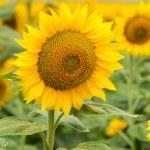 Sunflowers — Stock Photo #66060601