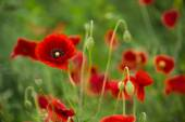 Wild poppies blooming on the field — Стоковое фото