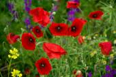 Wild poppies blooming on the field — Stock Photo