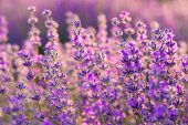 Meadow of lavender. Nature composition. Selective focus — Stock Photo