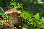 Mushroom boletus or cep in the forest — Stock Photo