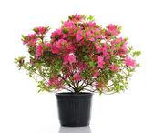Vase with blossom azalea — Stock Photo