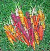Freshly Harvested Colorful Rainbow Carrots — Stock Photo