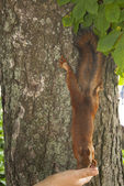 Red squirrel on the tree eating — Stock Photo