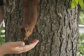 Small squirrel on a tree eating from the hand — Stock Photo