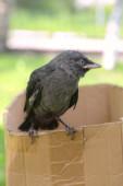 Small raven — Stock Photo