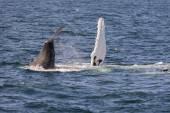 Whale,  coast of Atlantic. — Stock Photo